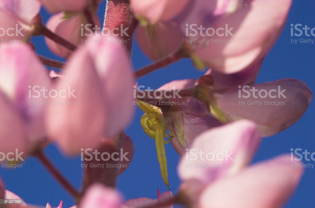 Yellow Spider and Lupin stock photo