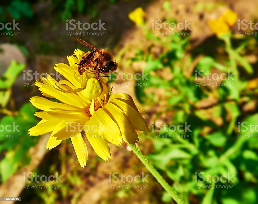 yellow spider and the bee royalty-free stock photo