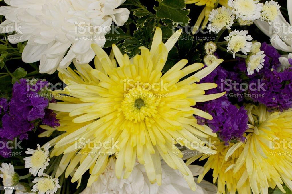 yellow spider chrysanthemum  and white chrysanthemum flower mixed stock photo