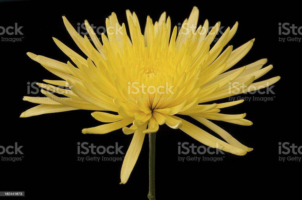Yellow Spider Mum Chrysanthemum on a Black Background stock photo