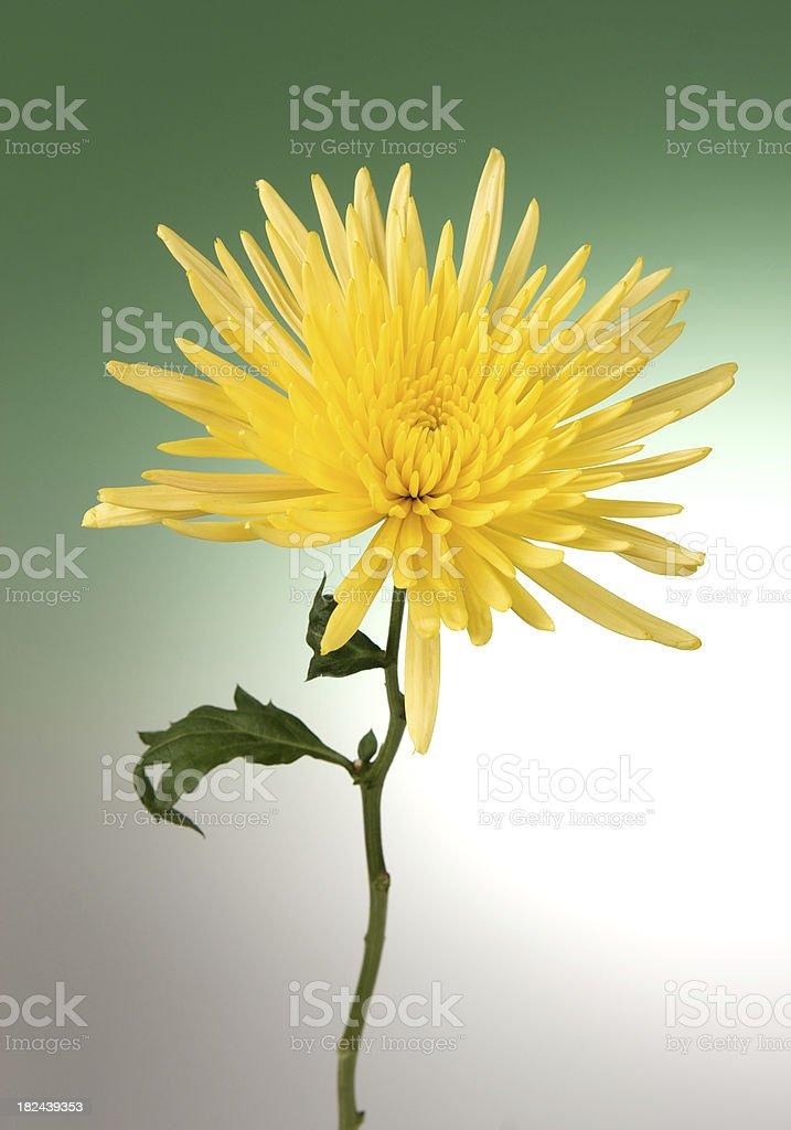 Yellow Spider Mum Chrysanthemum on Green Graduated Background stock photo