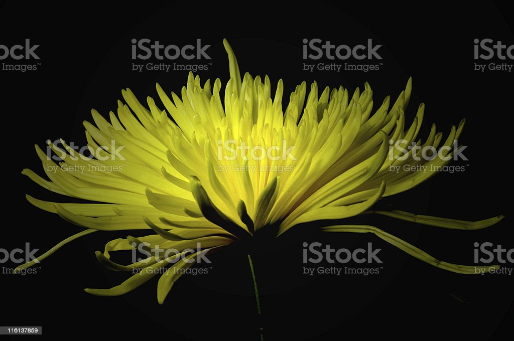 Yellow Spider Mum royalty-free stock photo