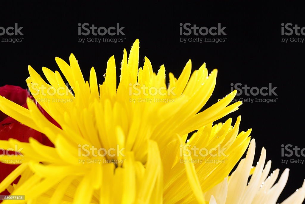 Yellow Spider Mums in the Mist stock photo