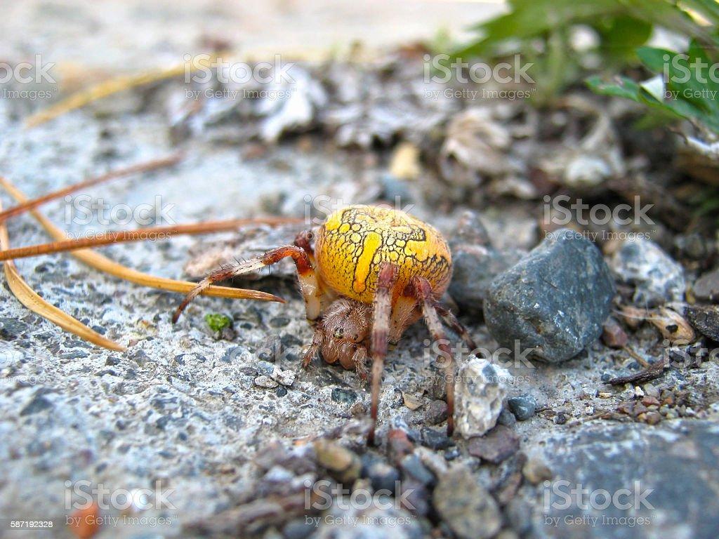 Yellow spider on Lake Baikal. stock photo