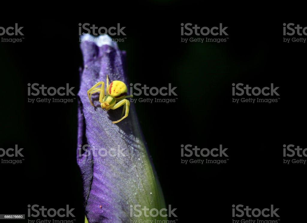 yellow spider on purple tulip stock photo