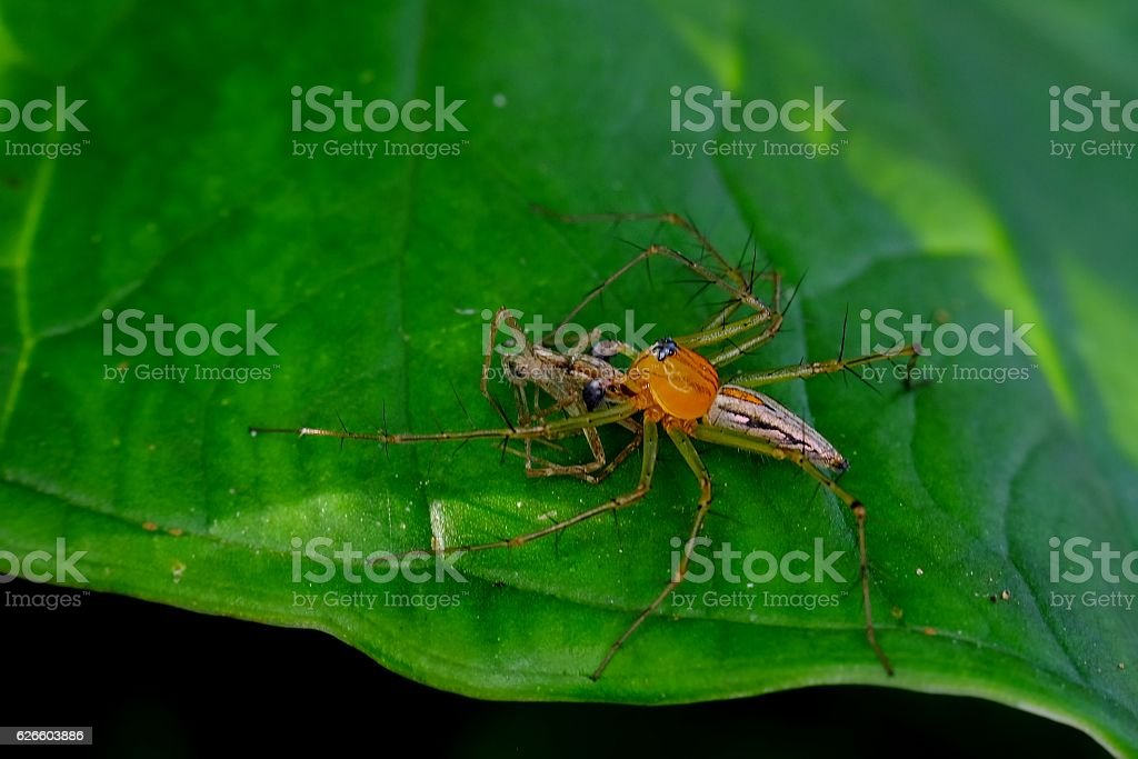 Yellow spider on the leaves stock photo