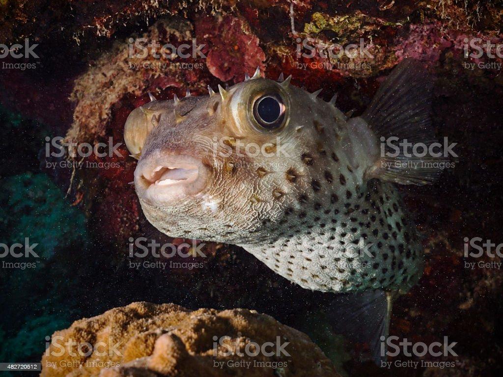 Yellow spotted burrfish, Gelbflecken-Igelfisch (Cyclichthys spilostylus) stock photo