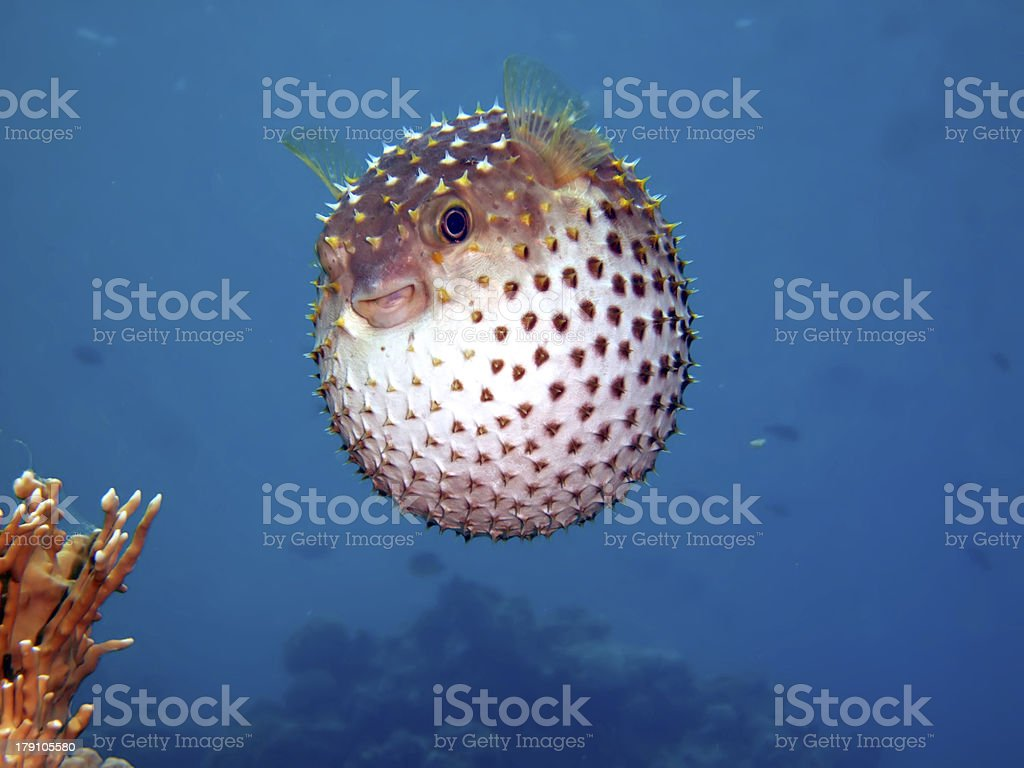 Yellow spotted burrfish. stock photo