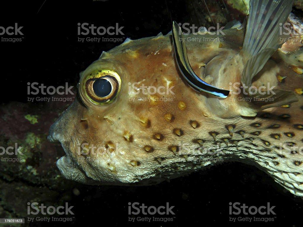 Yellow spotted burrfish. stock photo
