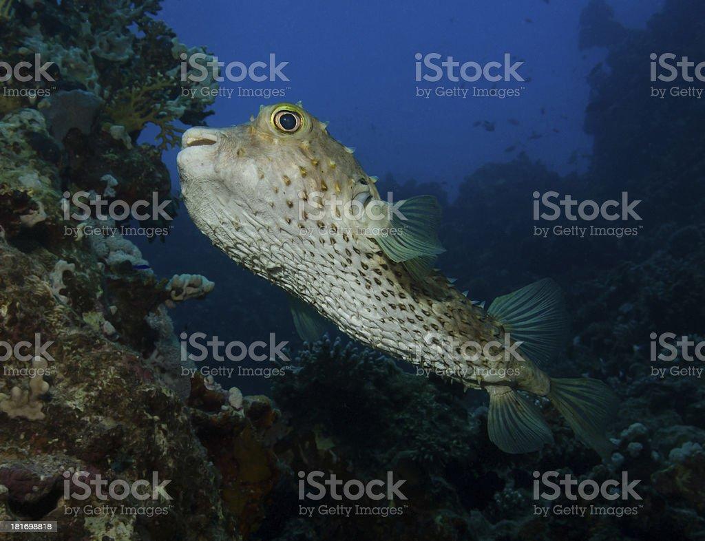 Yellow spotted burrfish stock photo
