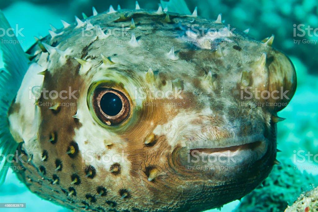 Yellow spotted burrfish. (Cyclithys spilostylus) stock photo