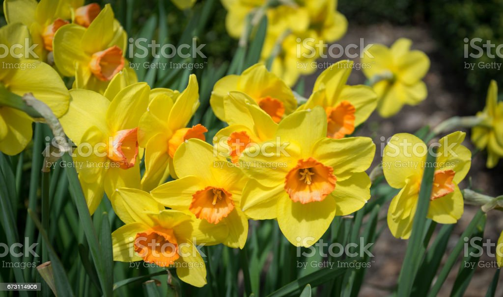 Yellow spring flowers. Blooming spring garden stock photo