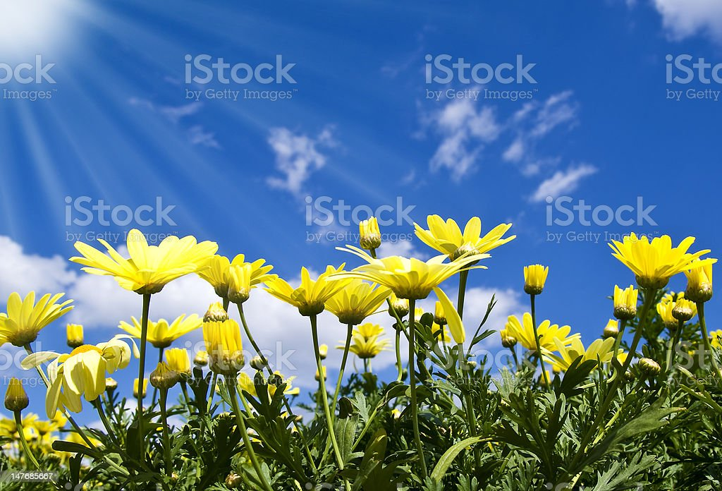 Yellow Spring flowers blooming under a radiant blue sky stock photo
