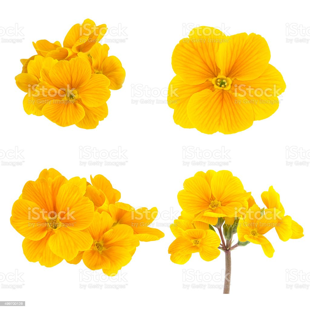Yellow Spring Flowers of Primrose Isolated on White stock photo