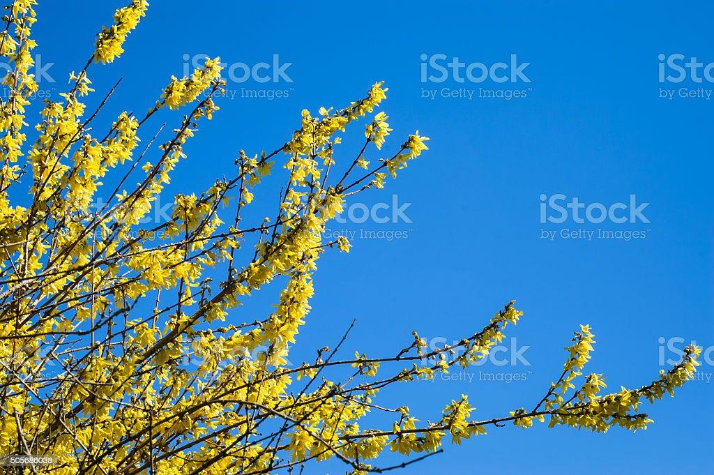 Yellow spring forsythia blossom as easter symbol. stock photo