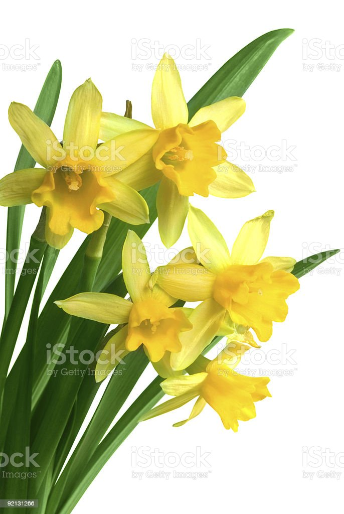 Yellow spring narcissus royalty-free stock photo