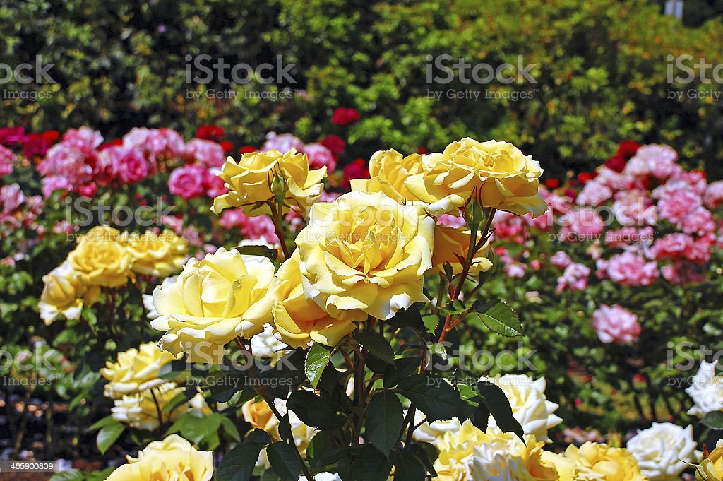 Yellow spring roses stock photo