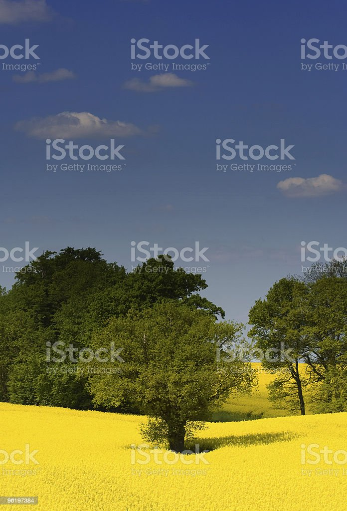 Yellow springs Rape field royalty-free stock photo