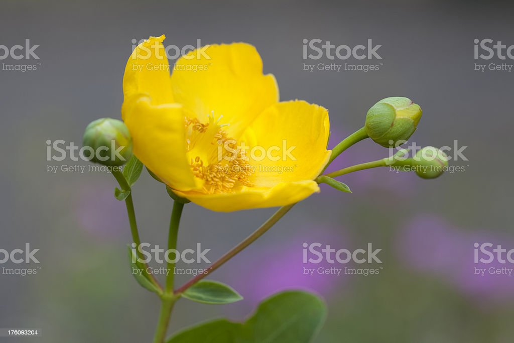 Yellow St. John's Wort (Hypericum) Flower, Homeopathic Uses royalty-free stock photo