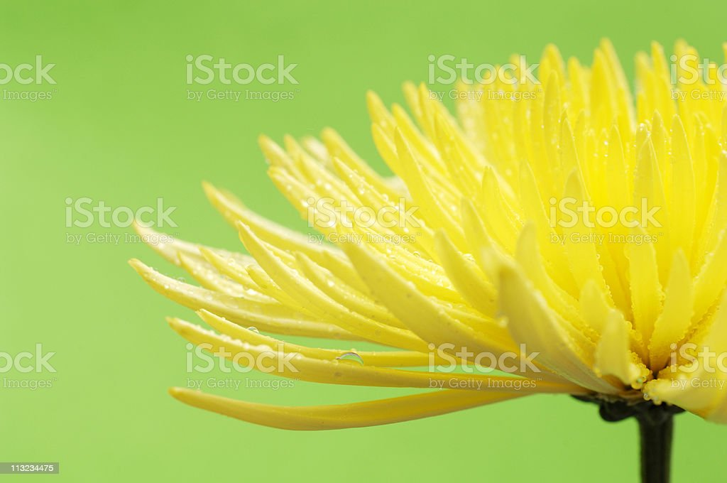 yellow Star dahlia flower against green stock photo