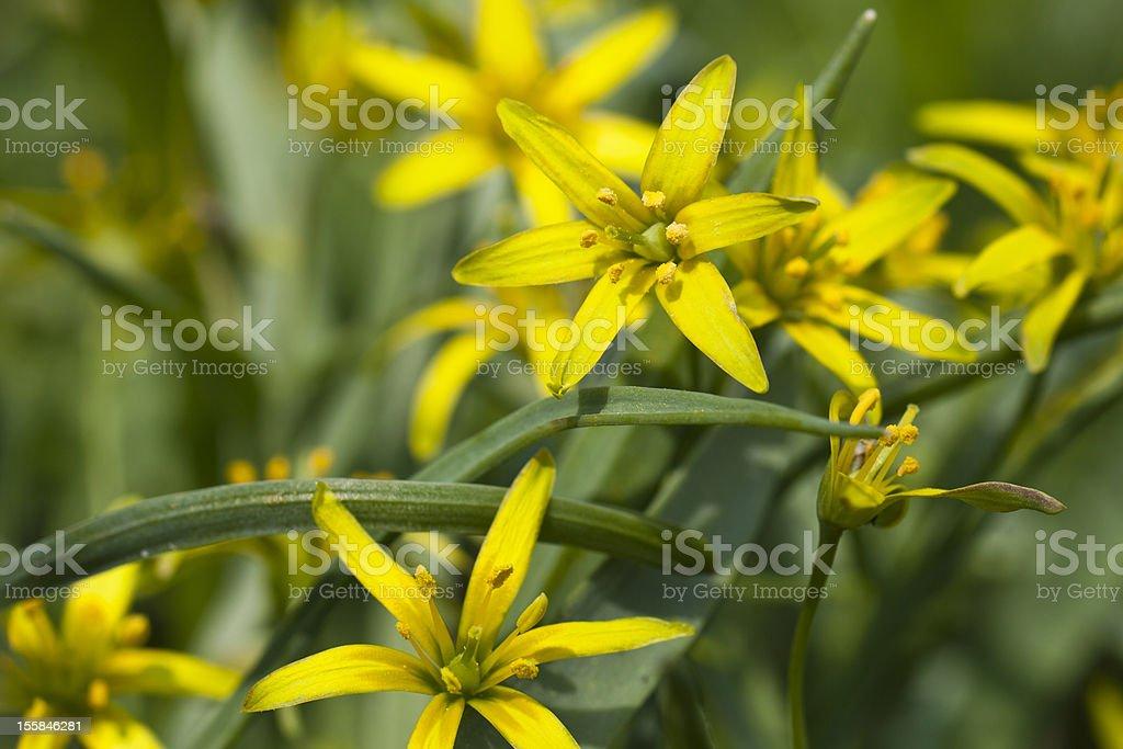 Yellow star of bethlehem stock photo