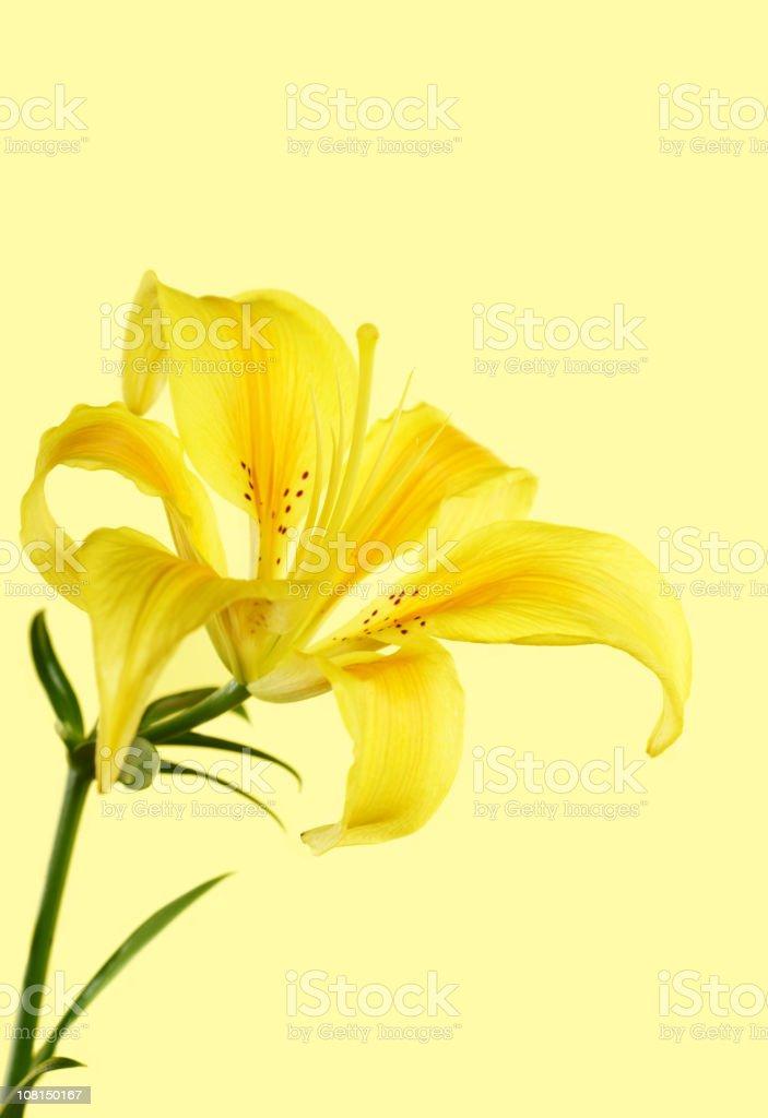 Yellow Starfighter Lily stock photo