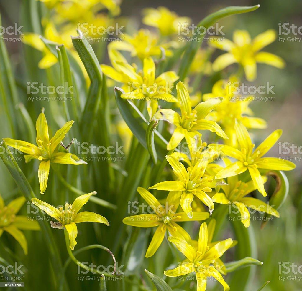 Yellow Star-of-Bethlehem (Gagea lutea) royalty-free stock photo