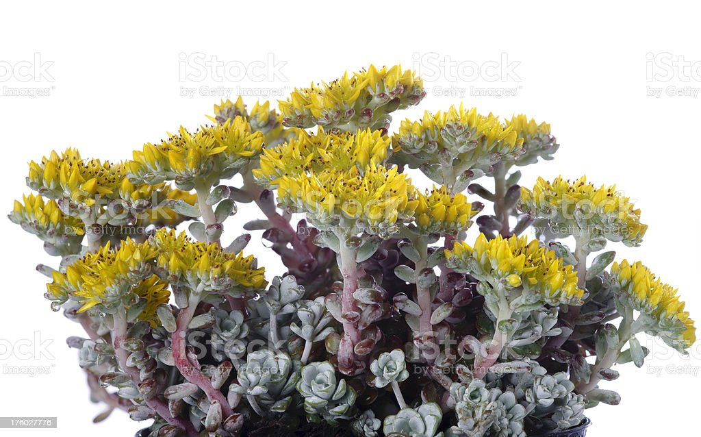 Yellow Stonecrop aCape BlancoaA (Sedum spathulifolium) stock photo