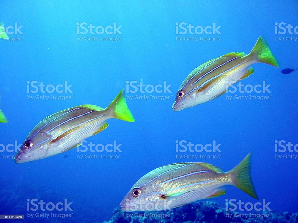 Yellow striped snappers stock photo