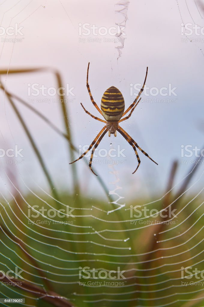 Yellow striped spider sit on web stock photo