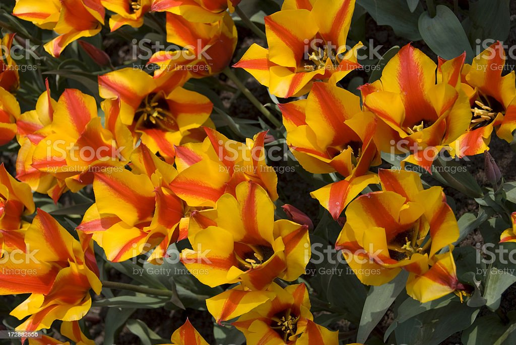 Yellow Striped Tulips at the Keukenhoff royalty-free stock photo