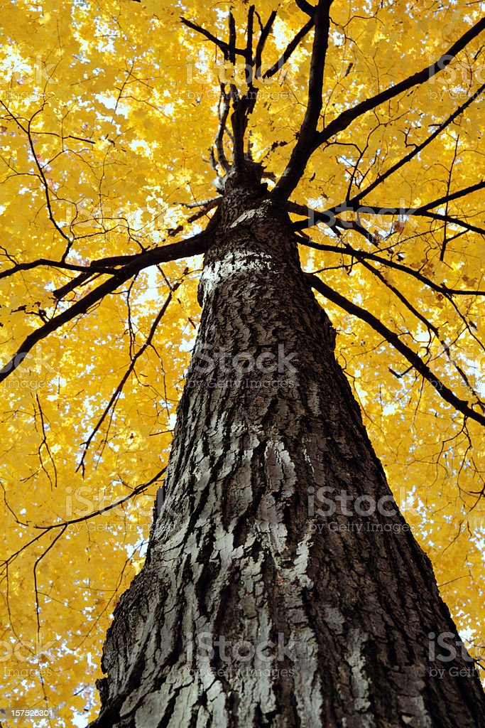 Yellow Sugar Maple Tree royalty-free stock photo