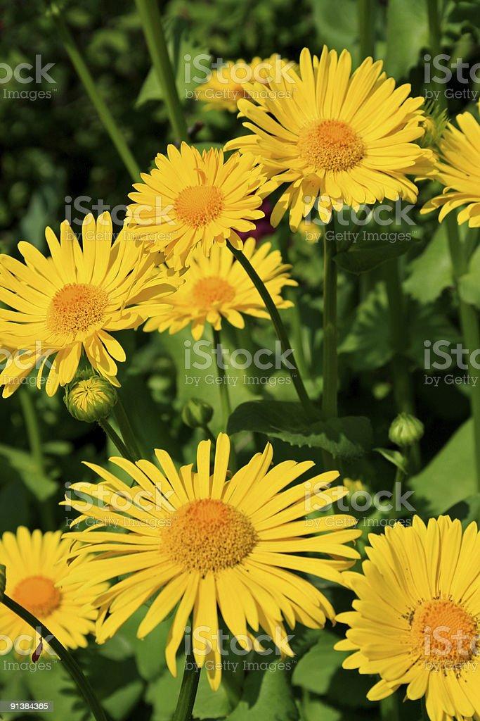 Yellow summer daisies royalty-free stock photo