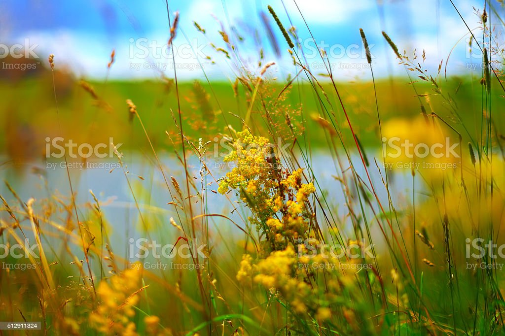 yellow summer flowers at meadow stock photo