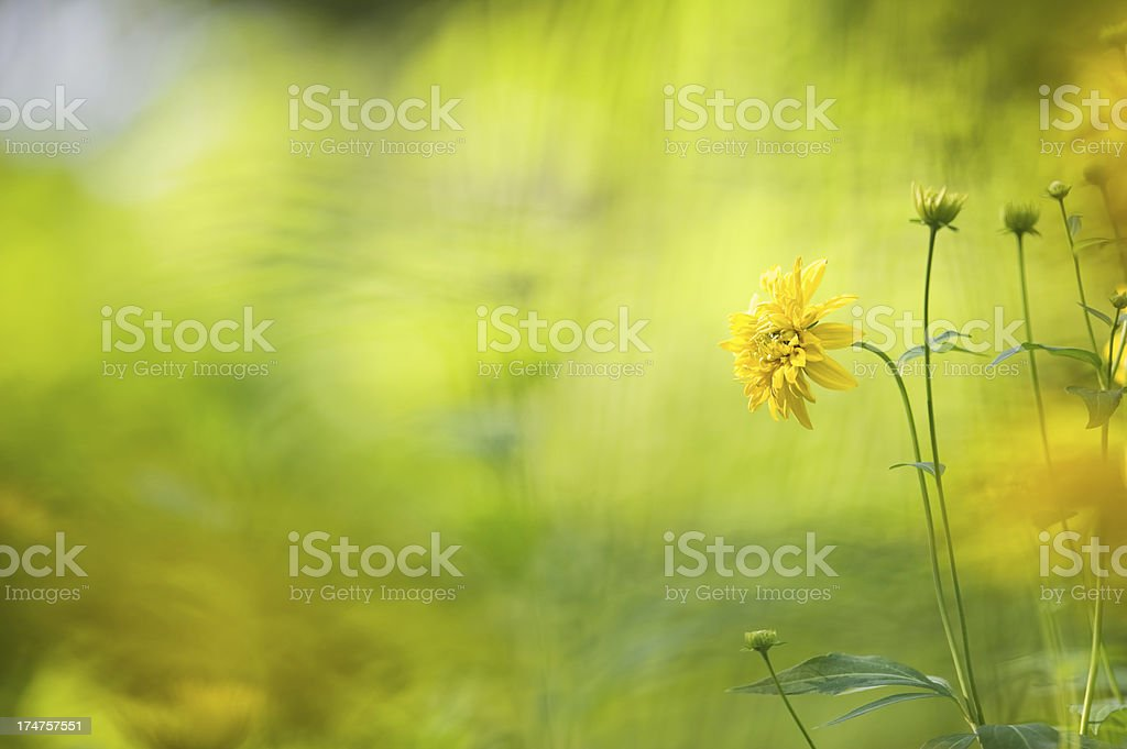 Yellow summer flowers royalty-free stock photo