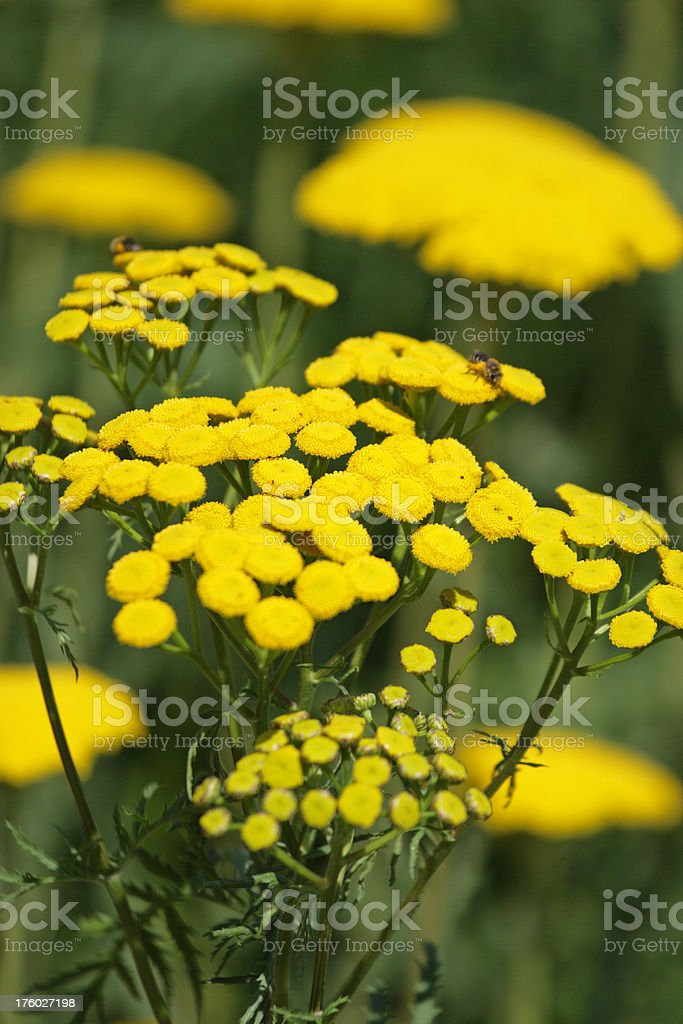 Yellow summer flowers: Tansy (Tanacetum vulgare) stock photo