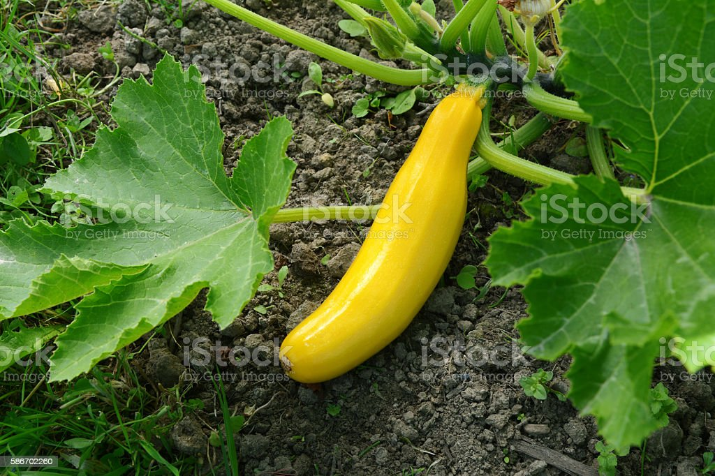 Yellow summer squash growing stock photo