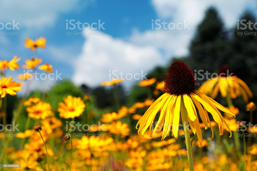 Gelber Sonnenhut-Echinacea stock photo