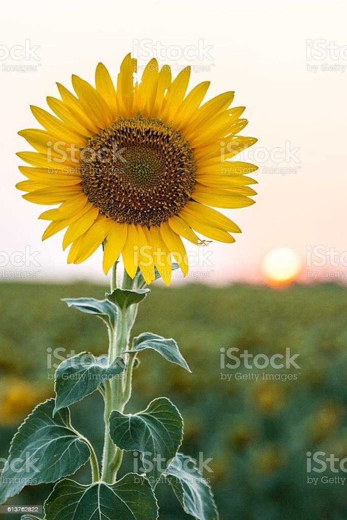 Yellow sunflower and sunset stock photo