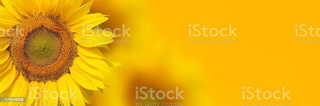 Yellow sunflower background stock photo