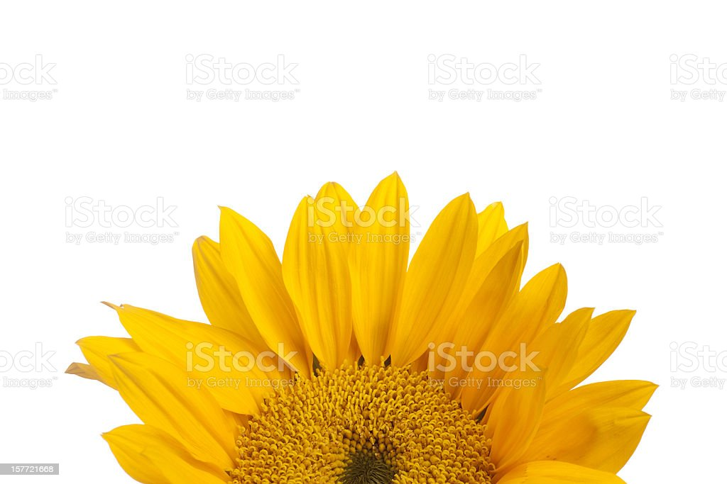 Yellow Sunflower, Flower, Top Half, Copyspace, Isolated-on-White royalty-free stock photo