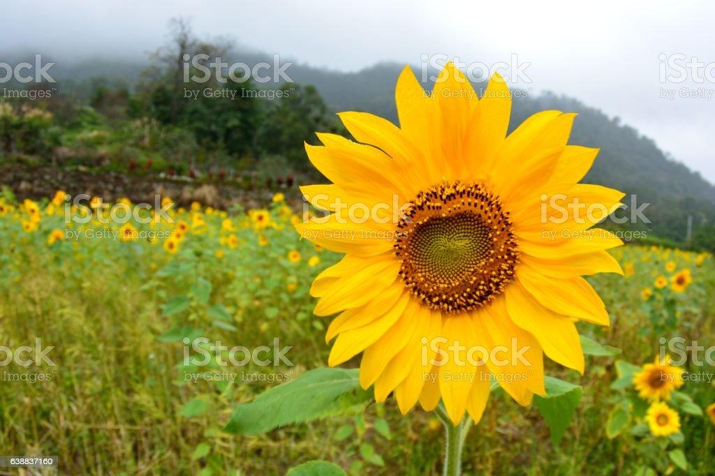 yellow sunflower stock photo