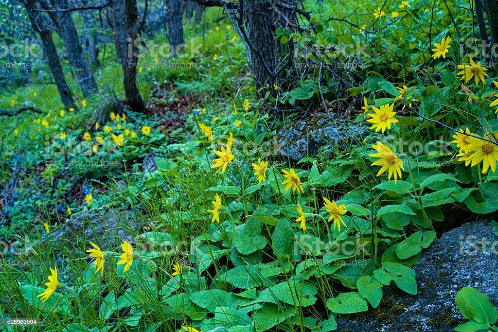 Yellow Sunflower Wildflower in Spring stock photo