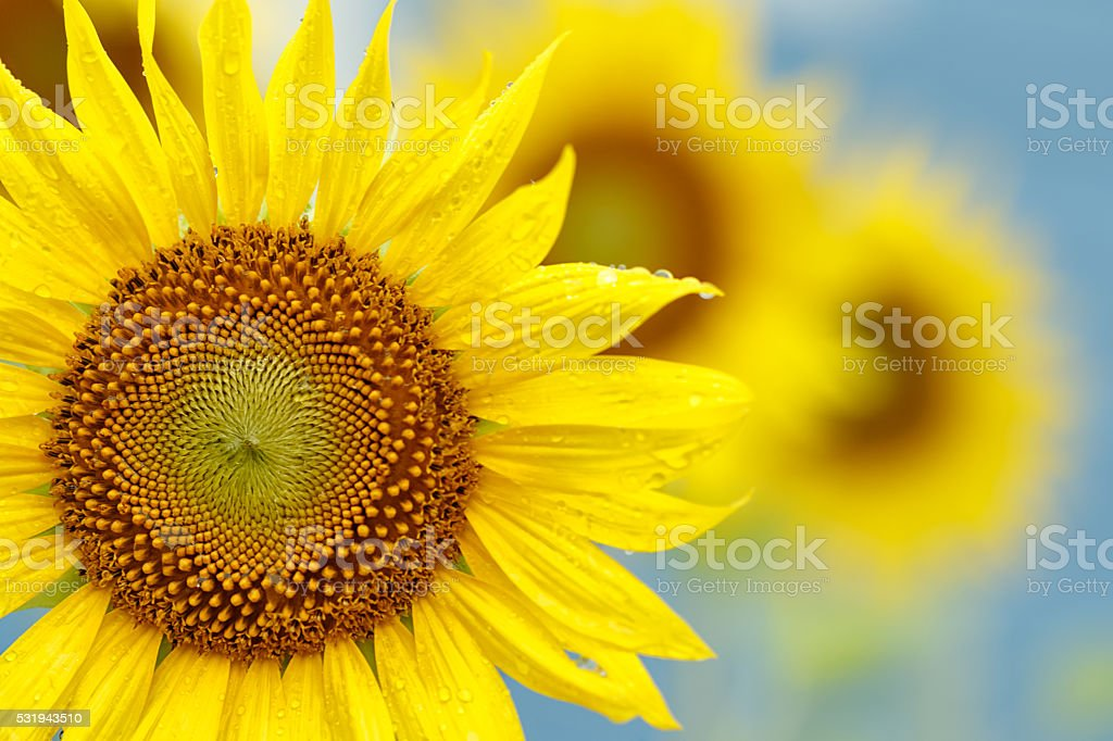 Yellow sunflower with dew drop on blue sky stock photo