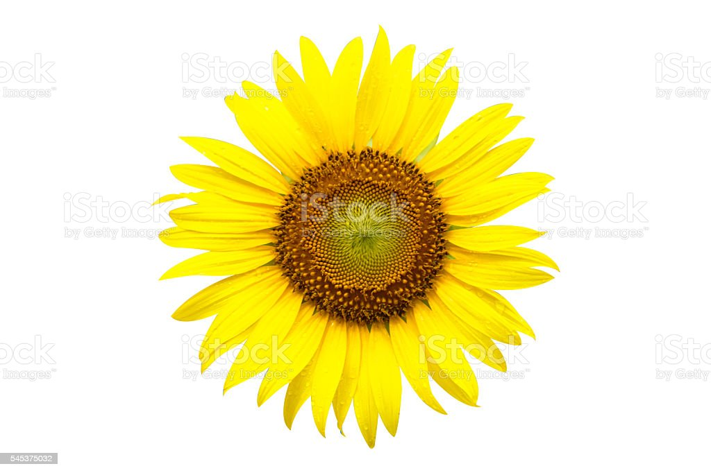 Yellow sunflower with dew drop with clipping path stock photo