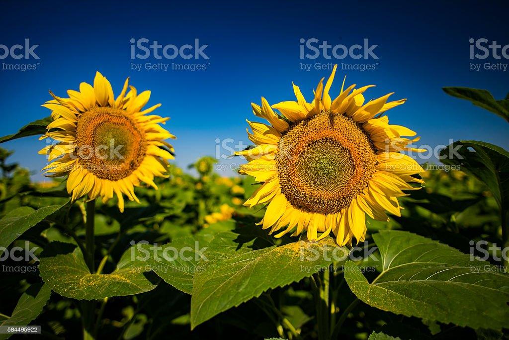 yellow sunflowers in the nature stock photo