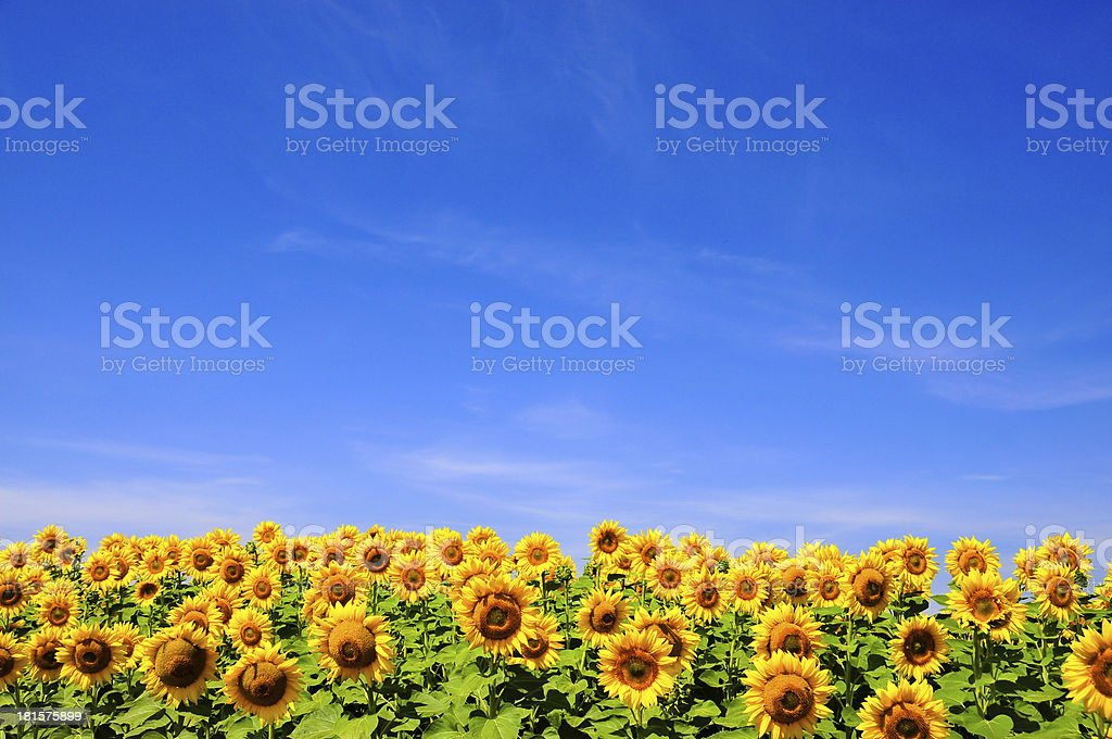 yellow sunflowers over blue sky stock photo