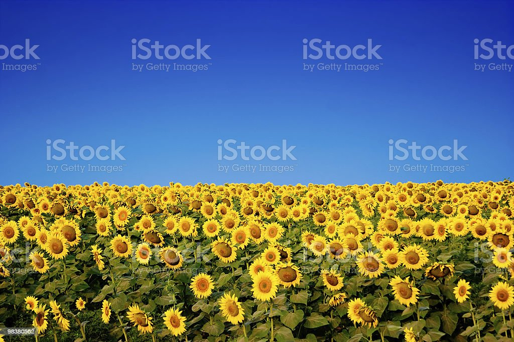 yellow sunflowers over blue sky stock photo