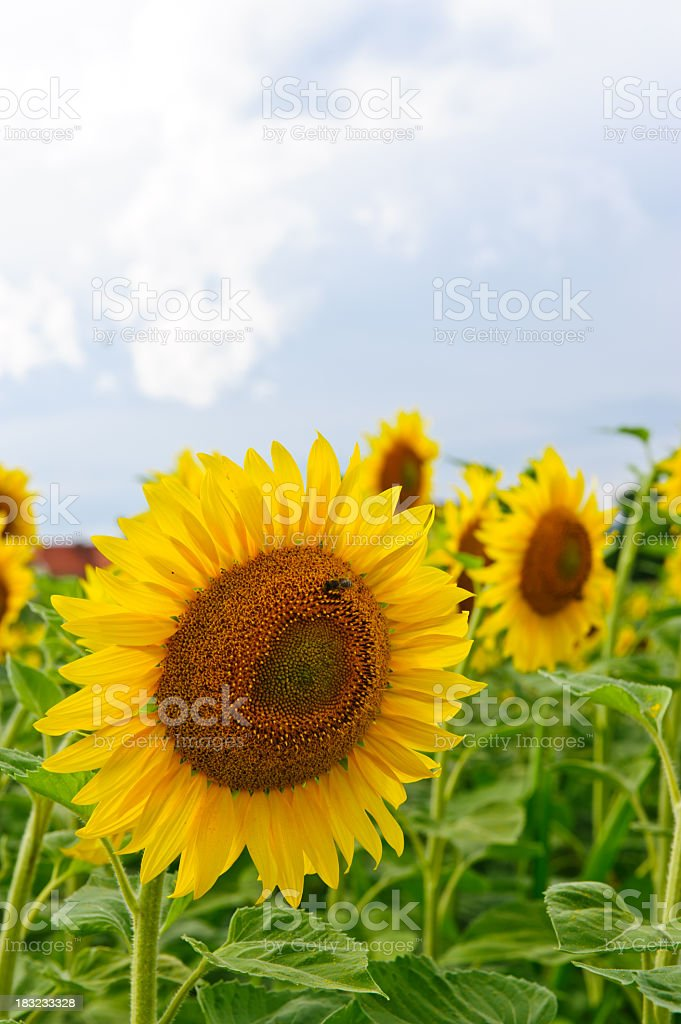 Yellow sunflowers royalty-free stock photo