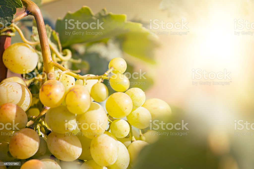 Yellow Sunny Grape stock photo